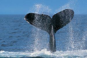 ONGs Valoran Trabajo de Gobiernos a Favor de la Protección de las Ballenas