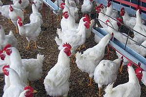 Publicada la Ley de sobre Inspección Medico Veterinaria de Aves de Corral y sus Carnes