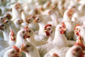 Chile fue Sede de Encuentro de Líderes de Industria Avícola Mundial