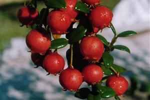 EE.UU Entrega Patente a Dos Variedades de Plantas Nativas Desarrolladas Por INIA
