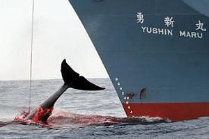 Nueva Zelanda Interviene en Demanda Australiana contra Caza de Ballenas Japonesa