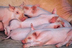 Productores Europeos se Comprometen a Poner Fin a la Castración de Cerdos