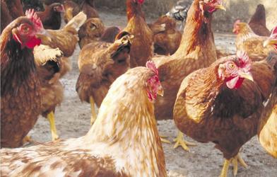 Comisión Nacional de Bienestar Animal revisa proyecto de Capítulo 7.Z. Bienestar Animal en los Sistemas de Producción de Gallinas Ponedoras de la OIE
