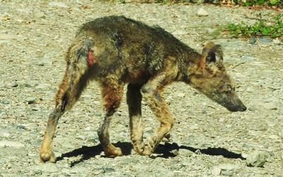 Sarna sarcóptica: ¿Una amenaza emergente para la fauna chilena?