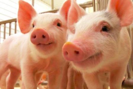 Más de 1600 Ganaderos Holandeses Comercializan sus Animales con un Sello de Bienestar Animal